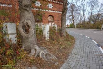 Правдинск. Калининградская область. Старое дерево с большим дуплом